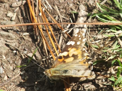 Butterflies on the Wooldown