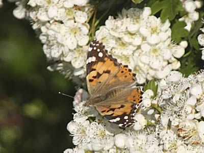 Painted Lady Butterfly, the Wooldown
